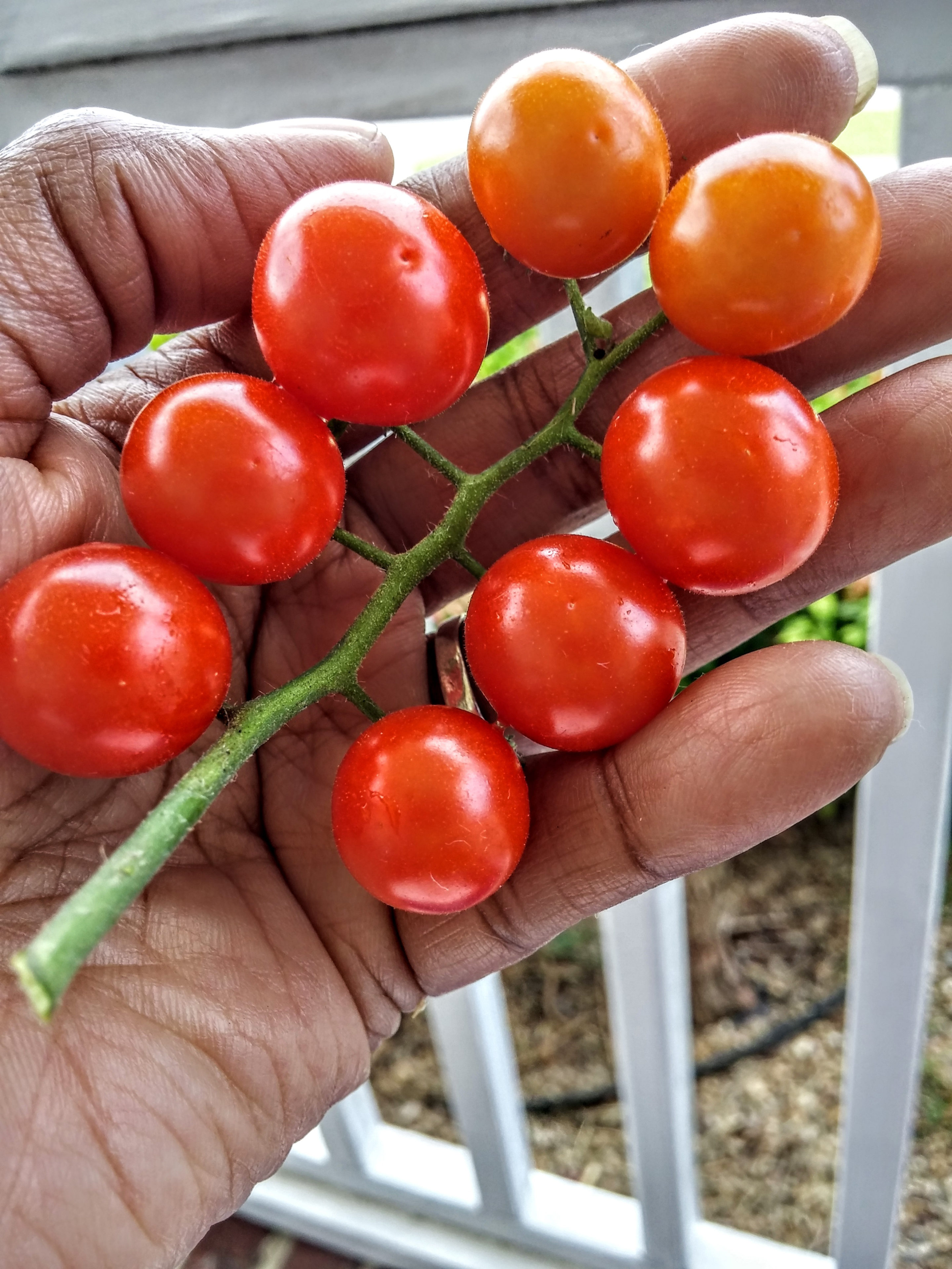 Cherry Tomatoes from Garden